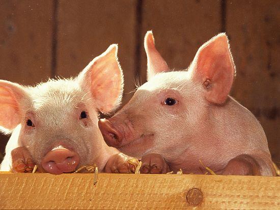 Секс девушек в свинарнике с свиней
